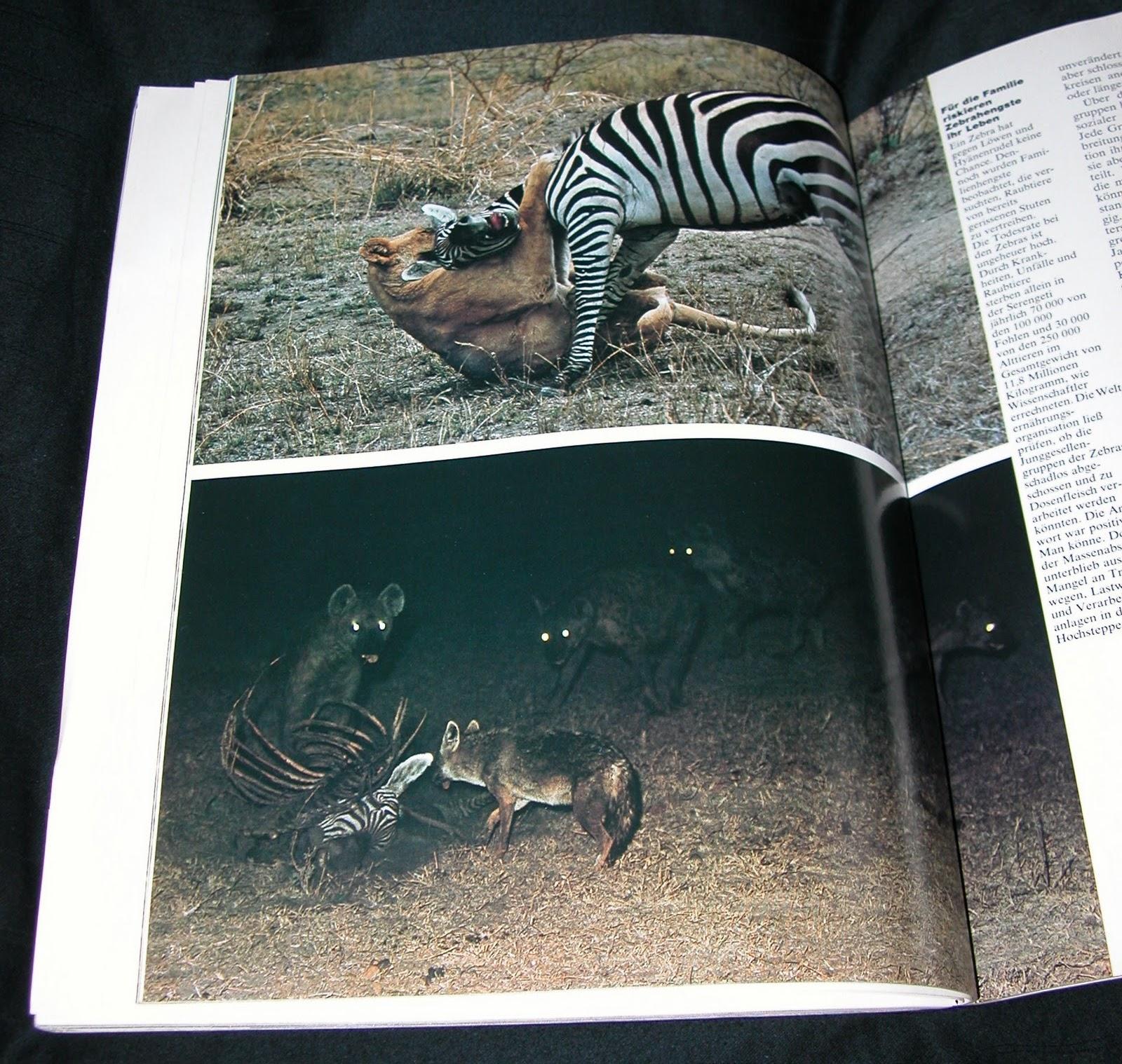 Zebras, Löwen und Hyänen in GEO Oktober 1977